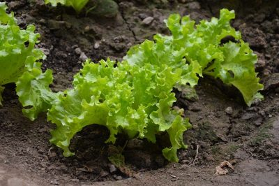 Growing Your Own Salad
